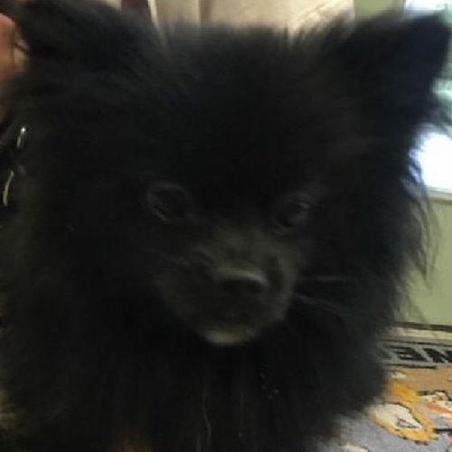 Kobe, Pomeranian