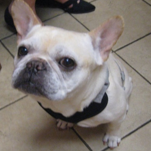 Maxxie, French bulldog