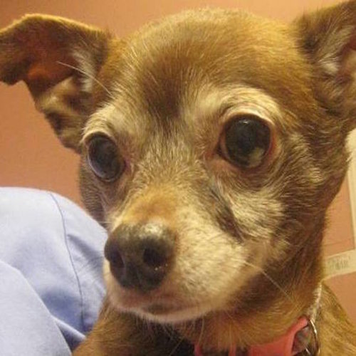 Sassy, Chihuahua