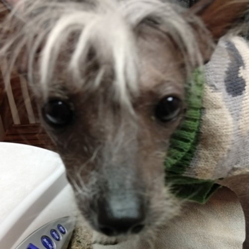 Ralphie, Chinese Crested